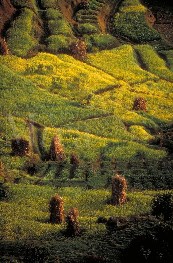 Fall harvest, fields, Kathmandu, Nepal. Scenic aerial, agricultural, crops, farm, farming, landscape. Kathmandu, Nepal Asia.