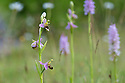 Bee Orchid {Ophyris apifera} Peak District National Park, Derbyshire, UK. June.