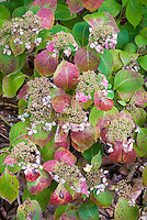 Hydrangea macrophylla 'Blue Wave' in autumn color and flowers