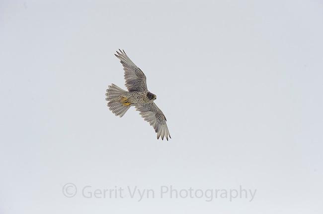 Adult female dark-morph Gyrfalcon (Falco rusticolus) in flight. Seward Peninsula, Alaska. June.