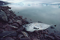A dead narwhal, Monodon monoceros, with a long tooth or tusk lies on a beach at Qeqertat.N.W. Greenland, Arctic
