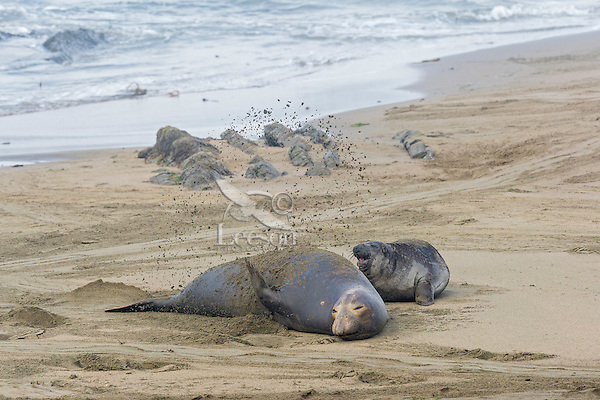 Northern Elephant Seal (Mirounga angustirostris) female with pup.  The female is flipping sand over her body to help keep cool.  Central California Coast.  March.  The sand can also help sooth itchy skin.