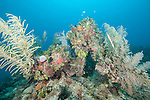 Gardens of the Queen, Cuba; a Trumpetfish attempts to camouflage itself against sea rods in this colorful coral reef scene