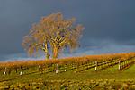 Oak trees, vineyard, clearing afternoon storm, winter, Karmere Vineyards