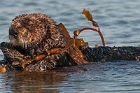 Sea Otter (Enhydra lutris) rolling up in kelp
