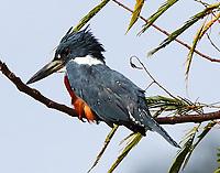 Male ringed kingfisher