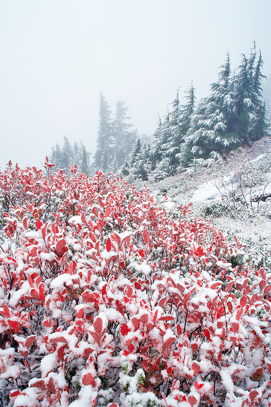 Huckleberry in fall color with forest and fog and first snow of fall. Mt. Baker Wilderness. Washington