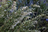 White flowering summer-dry Grevillea shrub; Arlington Garden, Pasadena