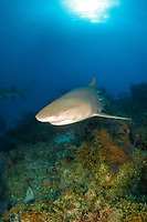 lemon shark, Negaprion brevirostris, swimming over coral reef, Bahamas, Atlantic Ocean