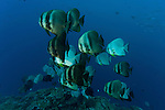 Teira batfish (Platax teira)
