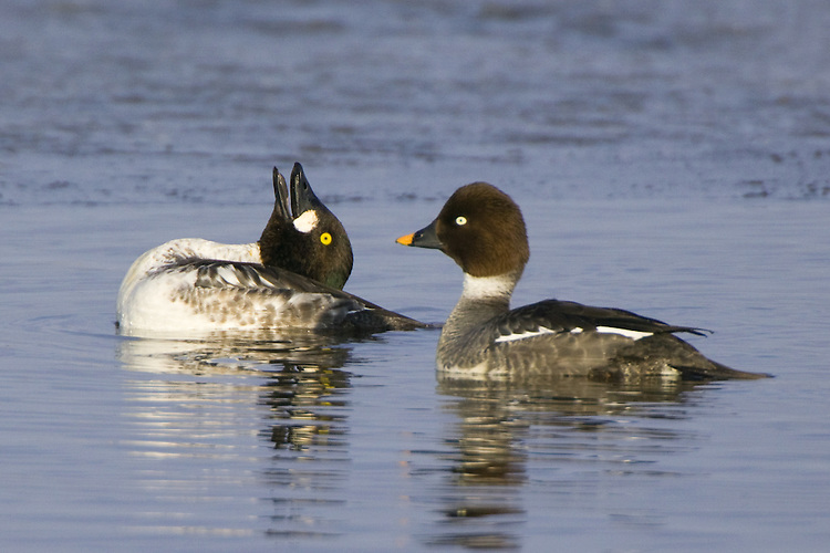 Common Goldeneye performing a mating display for an interested onlooker