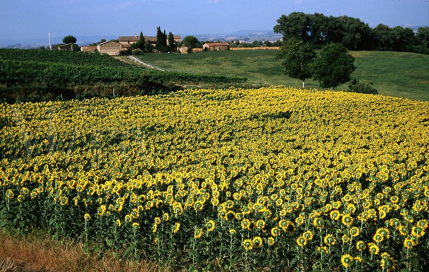 Aerial view of a field of Tuscan sunflowers. Tuscany, Italy.