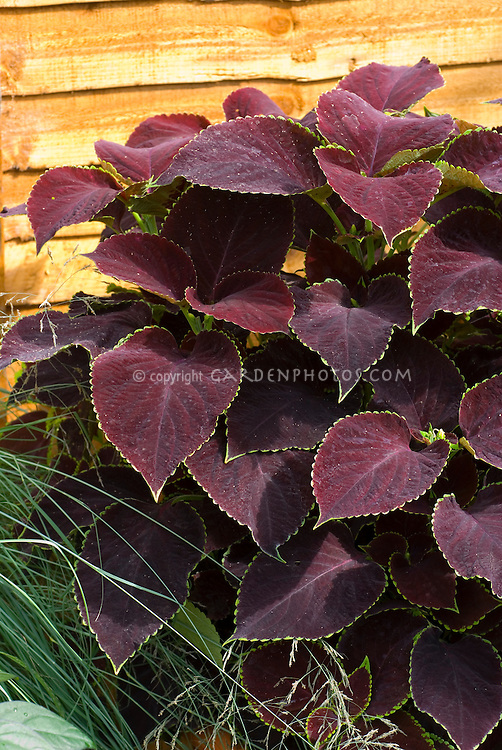 Coleus 'Chocolate Mint' Solenostemon annual foliage plant