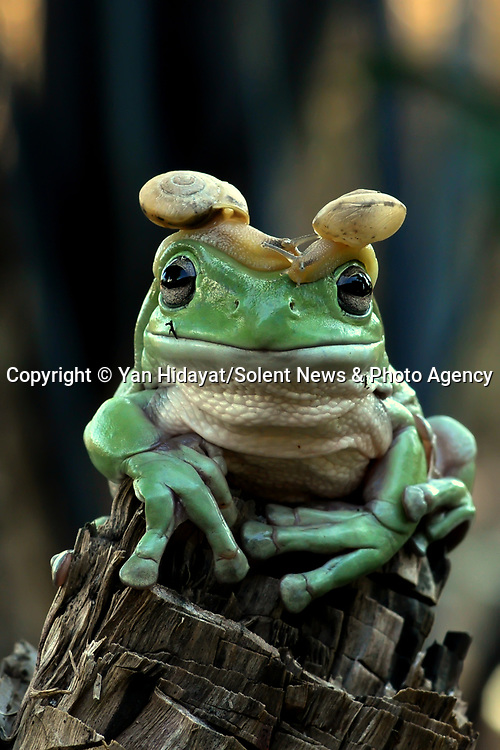 A frog looks like it is wearing a pair of peculiar accessories as two snails perch on either side of its head.  The green Australian tree frog does not seem at all bothered about the snails resting above its eyes.<br /> <br /> The photos were taken by Yan Hidayat in the garden of his home in the coastal city of Padang, Indonesia.  SEE OUR COPY FOR DETILS.<br /> <br /> Please byline: Yan Hidayat/Solent News<br /> <br /> © Yan Hidayat/Solent News & Photo Agency<br /> UK +44 (0) 2380 458800