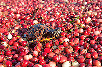Eastern Painted Turtle, swimming on floating cranberries, New Jersey