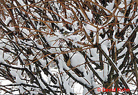 """1229-07mm  Camouflaged Black-capped Chickadee """"In Winter on Bush"""" - Parus atricapillus © David Kuhn"""