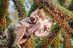 Female Ring-tailed Lemur (Lemur catta) carrying young and feeding in Didieraceae tree in spiny forest. Berenty Private Reserve, southern Madagascar.
