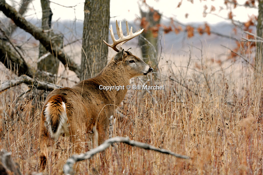 00274-309.08 White-tailed Deer Buck (DIGITAL) large antlers and huge body is near blowdown in oak forest during fall rut.  Hunt, breed.  H5R1