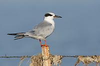 Forster's Tern (Sterna forsteri) in basic plumage. Malheur County, Oregon. September.