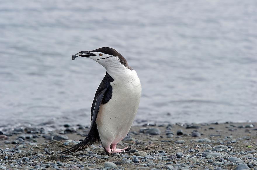 Chinstrap Penguin (Pygoscelis antarcticus) collecting pebbles for it's nest. <br /> Aitcho Islands, Barrientos, Antarctic Penninsula, Antarctica