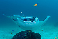 reef manta ray, Mobula alfredi, with one cephalic fin rolled up and the other unfurled, being cleaned by moon wrasses, Thalassoma lunare and blue-streak cleaner wrasses, Labroides dimidiatus, with moon wrasses inside open mouth, Sunshine Thila, Lankan, North Male Atoll, Maldives, Indian Ocean