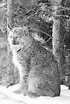 Lynx sitting in Boreal Forrest Riding Mountain National Park, Manitoba, Canada.