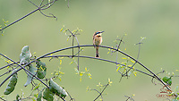 Little Bee-eater (Merops pusillus), African race, pauses on a branch next to a stream, Masai Mara