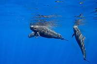 short-finned pilot whales, Globicephala macrorhynchus, with juvenile hanging vertically in the water, Kona Coast, Big Island, Hawaii, USA, Pacific Ocean