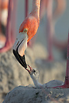 American Flamingo (Phoenicopterus ruber) feeding newly hatched chick. Yucatan, Mexico.