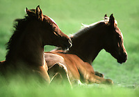 Two foals lie sleepily in the grass.
