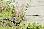 Damon, Texas; a juvenile American alligator warming itself on the bank of the slough