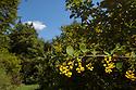 Barberry (Berberis vulgaris) growing in hedgerow.