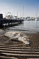 Hawaiian monk seal, Monachus schauinslandi, basking at boat ramp, young male, critically endangered, Honokohau Harbor, Kona Coast, Big Island, Hawaii, Pacific Ocean