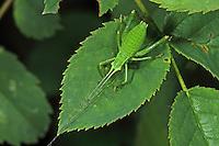 Laubholz-Säbelschrecke, Laubholzsäbelschrecke, Säbelschrecke, Barbitistes serricauda, sawtailed bushcricket, Tettigoniidae