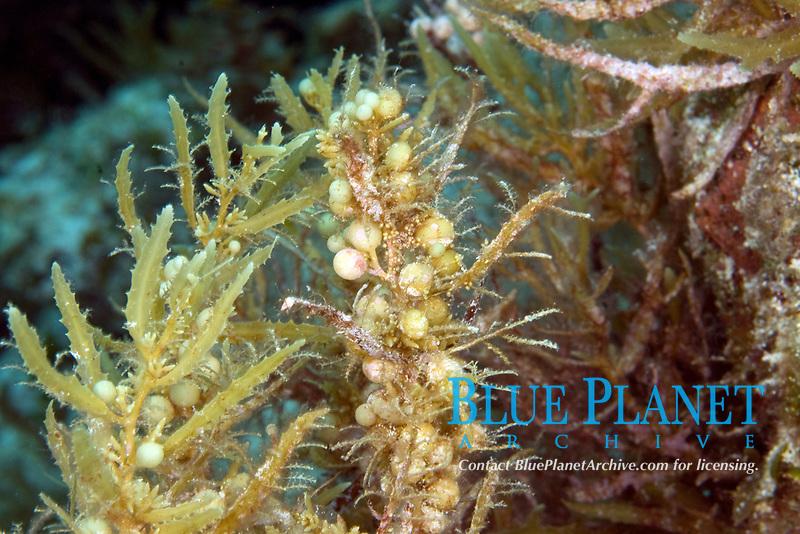Green grape algae, caulerpa racemosa