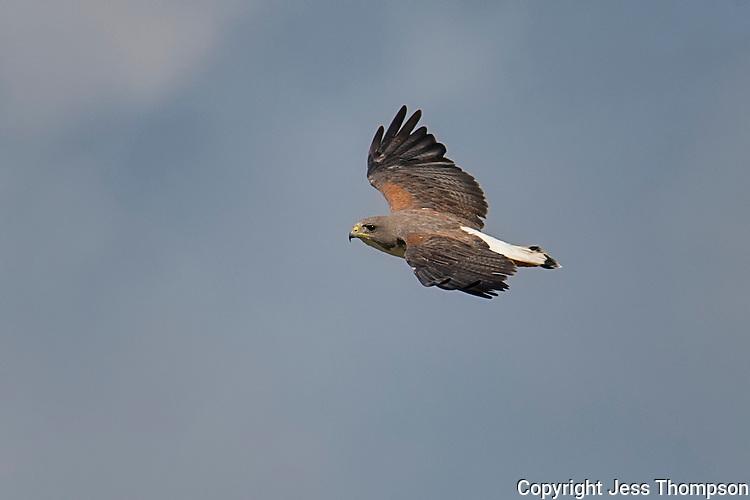 White-tailed Hawk 0157, Laguna Seca Ranch, Edinburgh, Texas