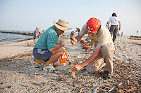 Biologists preparing the nets to capture shorebirds, the Red Knot, for scientific study, Delaware Bay, New Jersey