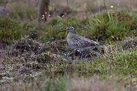 Regenbrachvogel, Regen-Brachvogel, Numenius phaeopus, whimbrel, Le Courlis corlieu