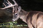 White-tailed Deer buck feeding on aquatic plants in pond, medium shot