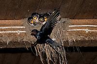 Rauchschwalbe, Rauch-Schwalbe, Rauch - Schwalbe, Altvogel füttert Küken in ihrem Lehmnest, Nest, Hirundo rustica, Swallow, barn swallow, Hirondelle rustique