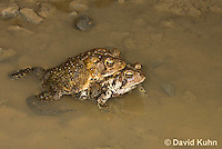 0304-0904  Pair of Toads in Amplexus (Pseudocopulation), Pair of American Toads (Male Tightly Grasping Female) Mating in Temporary Ephemeral Pool of Water,  © David Kuhn/Dwight Kuhn Photography, Anaxyrus americanus, formerly Bufo americanus