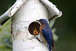 Eastern Bluebird (Sialia sialis) bringing food to his offspring.  Summer.  Winter, WI.
