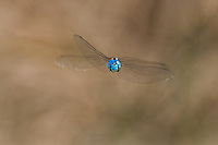 339360036 a wild male blue-eyed darner rhionaeschna multicolor in flight over the fish slough area near bishop mono county california united states