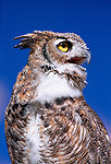 Portrait of a Great Horned owl (Bubo virginianus)