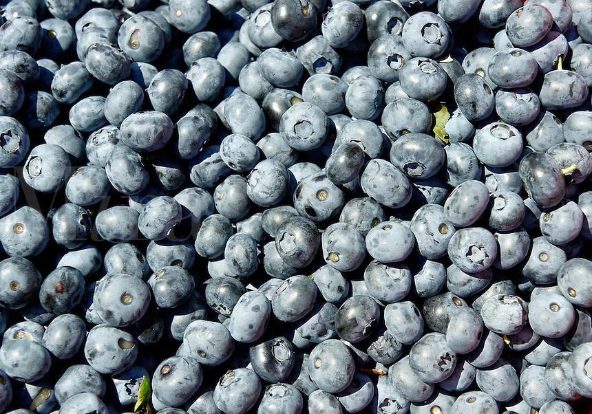 Fresh blueberry harvest.