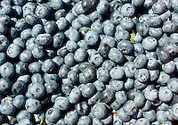 Fresh blueberry harvest.