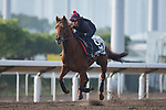 SHA TIN,HONG KONG-DECEMBER 09 : Lightning Spear,trained by David Simcock,exercises in preparation for the Hong Kong Mile at Sha Tin Racecourse on December 9,2017 in Sha Tin,New Territories,Hong Kong (Photo by Kaz Ishida/Eclipse Sportswire/Getty Images)