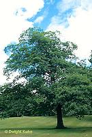 TT18-009b  Oak - tree - Quercus spp.