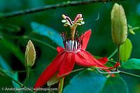 Passion flower (Passiflora coccinea) in lowland tropical rainforest, Manu National Park, Madre de Dios, Peru.