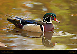 Wood Duck, Carolina Duck, Male Drake, LA Arboretum, Southern California